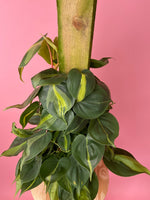 "Load image into Gallery viewer, Philodendron ""Brasil"" (Totem) - 8"""
