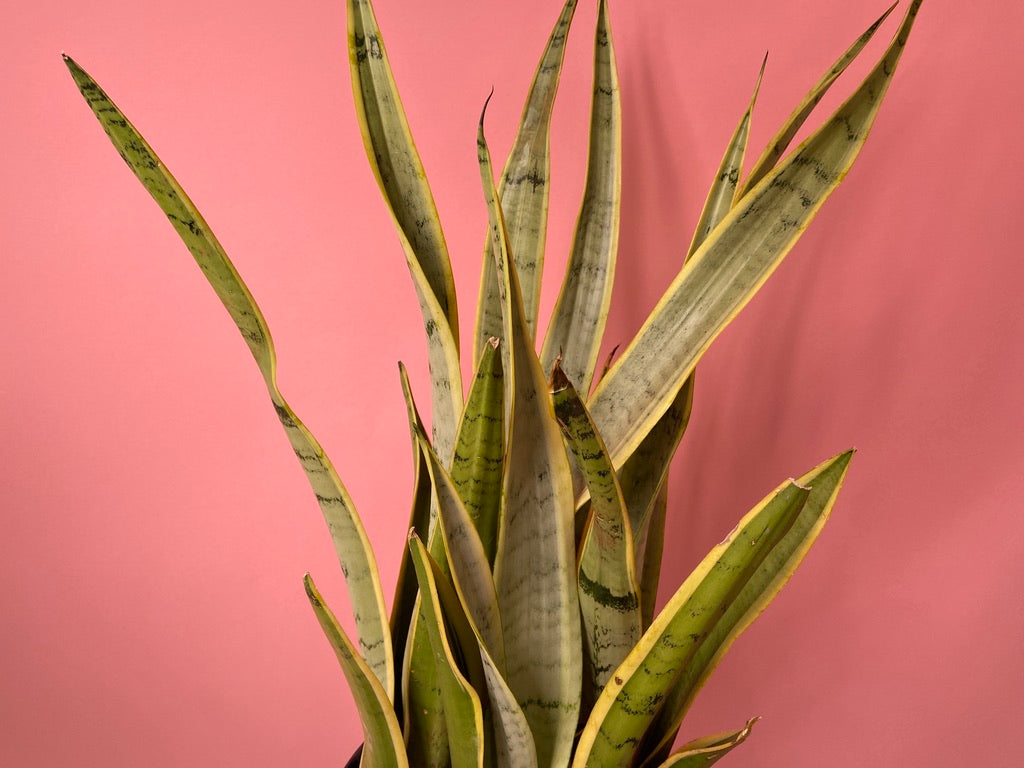 "Sansevieria Laurentii ""Silver"" - 32"" Tall"