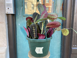 Maranta Red (Hanging Basket) - 8""