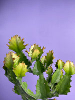 Load image into Gallery viewer, Euphorbia Ingens (2FT Tall) - 10""