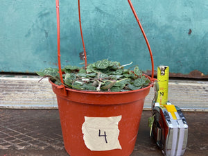 String of Hearts (Ceropegia woodii) - 6""