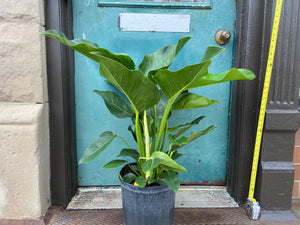 "Philodendron ""Green Congo"" - 36"" Tall"