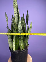"Load image into Gallery viewer, Sansevieria Zeylanica (Snake Plant) - 30"" Tall"
