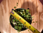 "Load image into Gallery viewer, Peperomia Prostrata ""String of Turtles"" - 4"""