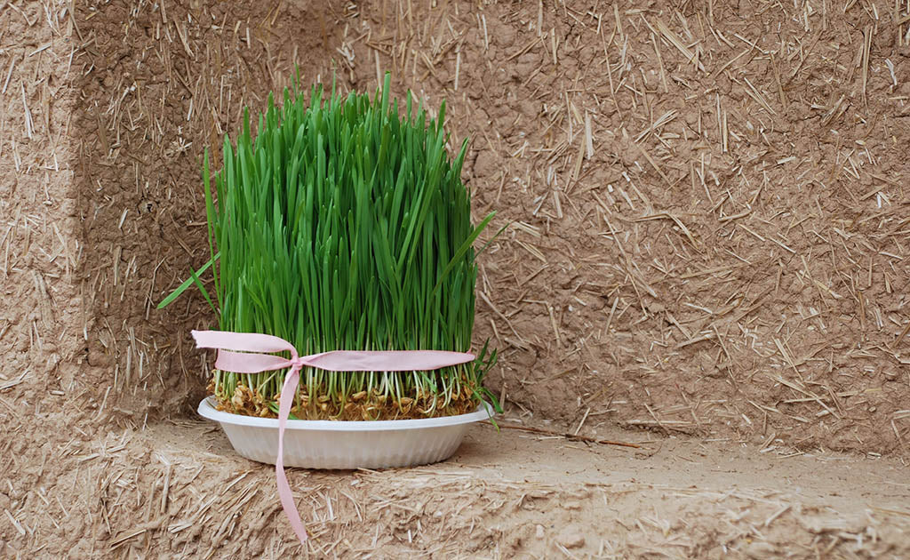 Nowruz involves the growing of Wheatgrass.