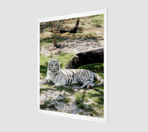 """White Tiger At Rest"" R - Fine Art Print"