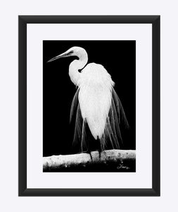 """Great Egret in Full Bloom 1 - R"" Matted Fine Art Print"