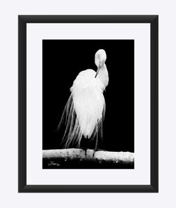 """Great Egret in Full Bloom 2"" Matted Fine Art Print"