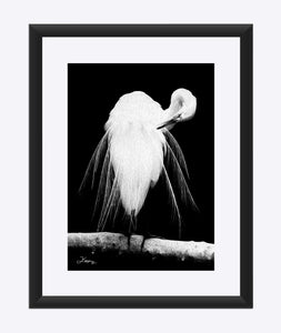 """Great Egret in Full Bloom 3"" Matted Fine Art Print"