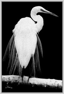 """Great Egret in Full Bloom 1 - L"" Fine Art Canvas"