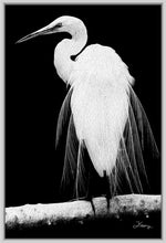 "Load image into Gallery viewer, ""Great Egret in Full Bloom 1 - R"" Fine Art Canvas"
