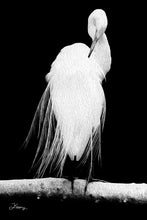 "Load image into Gallery viewer, ""Great Egret in Full Bloom 2"" Fine Art Metal Print"