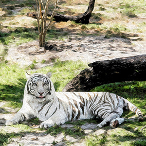 """White Tiger at Rest - R"" Fine Art Metal Print"