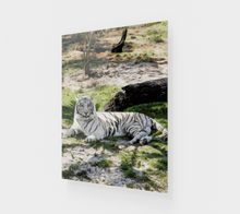 "Load image into Gallery viewer, ""White Tiger At Rest"" R - Fine Art Acrylic Print"
