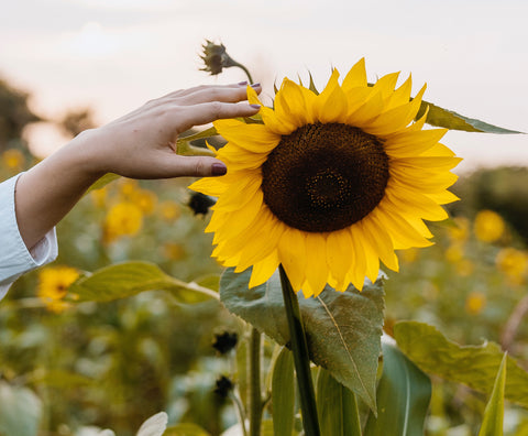 Sunflower Oil In Skincare Ingredients