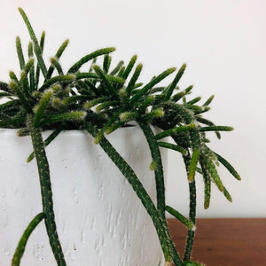 Rhipsalis Horrida in White Wizard Pot from Greenhouse Co