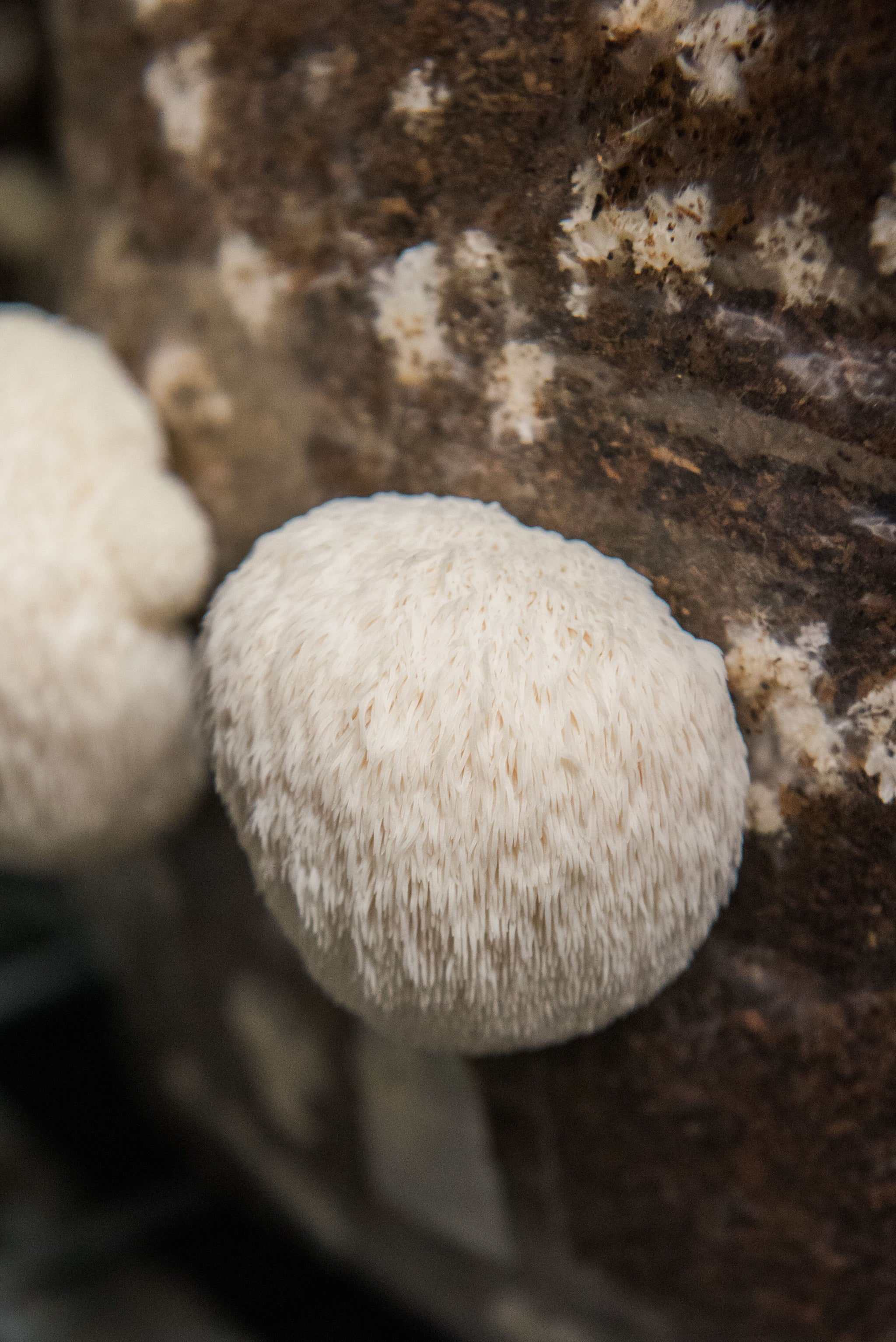 Functional Mushrooms: Everything you need to know about Lion's Mane