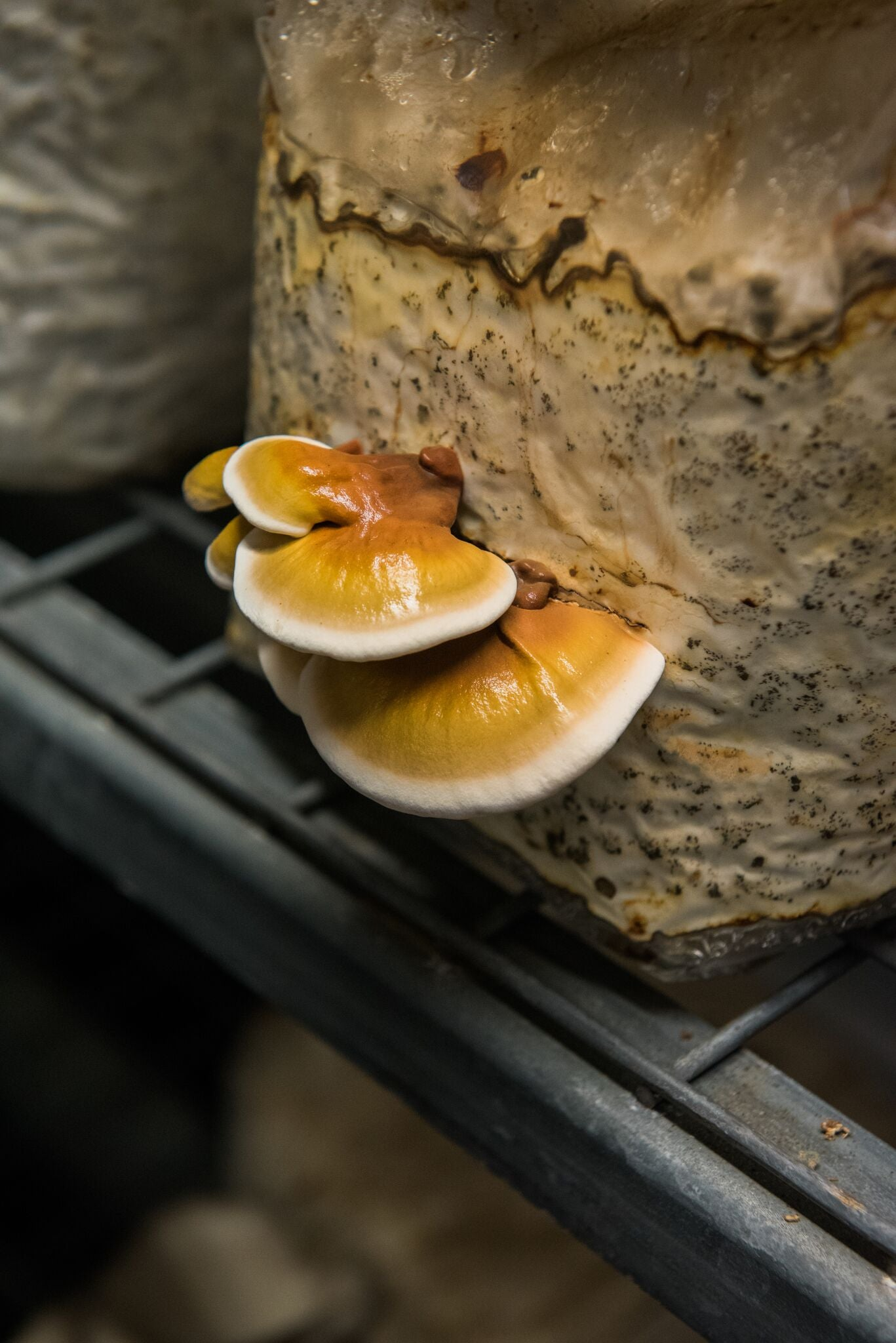 Functional Mushrooms: Reset with Reishi