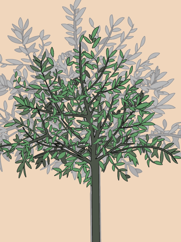 Indoor Olive Tree Plant Care