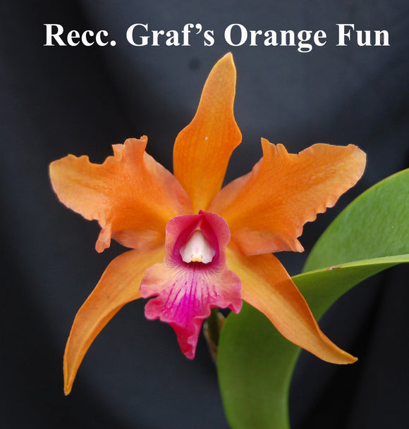 Recc. Graf's Orange Fun (Sch splendida x Blc. Goldenzelle) (5