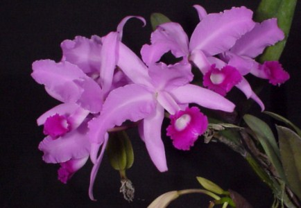 C. lawrenceana color 'El Hatillo' x <br> C. lawrenceana color 'manantial' (5 pot)