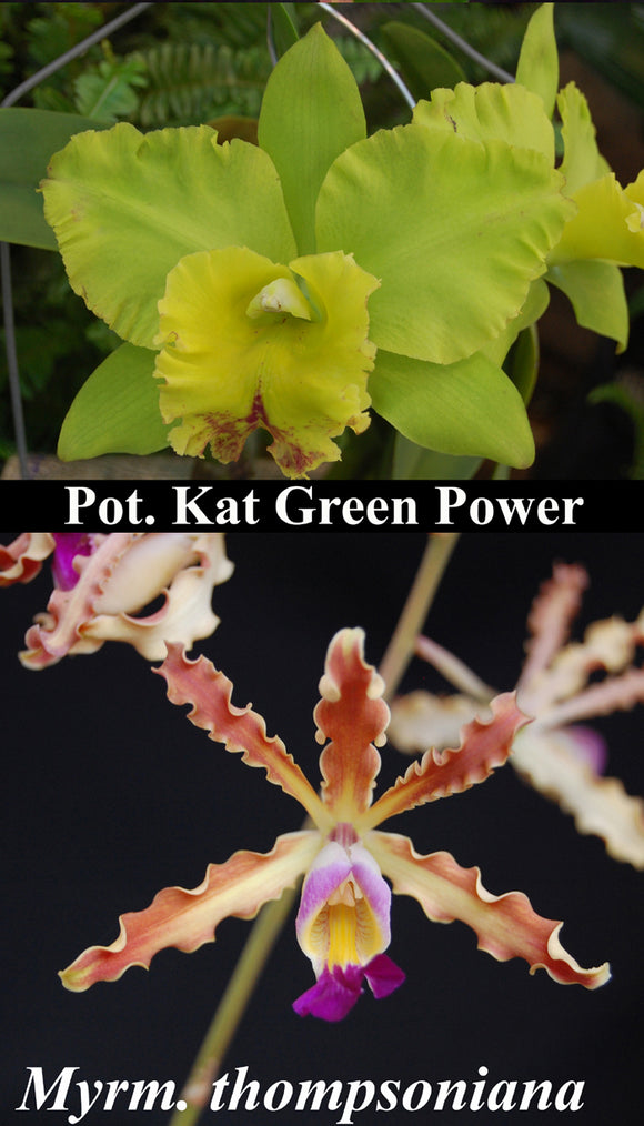 Blc. Kat Green Power x<br> Schom. thompsoniana (5