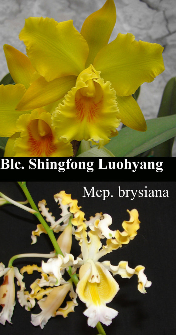 Shinfong Louhyang 'New City Gold' x <br> Mcp. brysiana 'Naranja' (br)