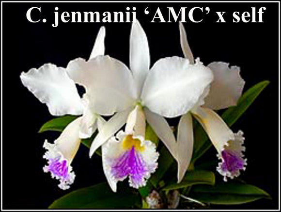 C. jenmanii 'AMC' x <br> self  (2,5