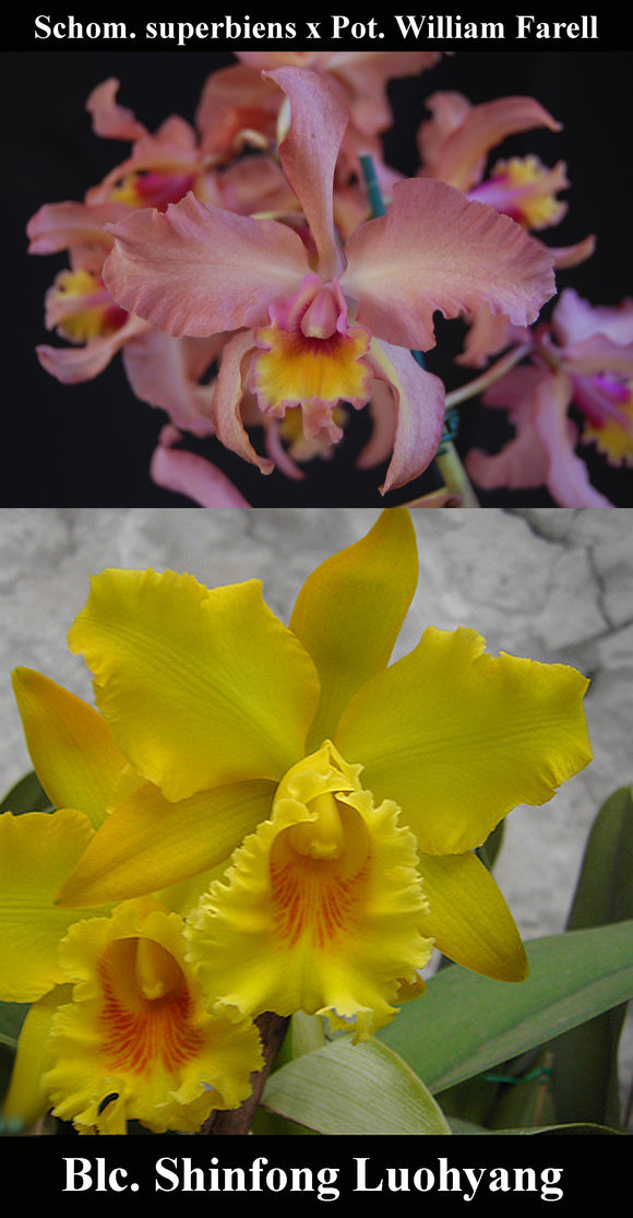 (Sch superbiens x Pot. William Farell) x Blc. Shinfong Luohyang 'Golden King' (4