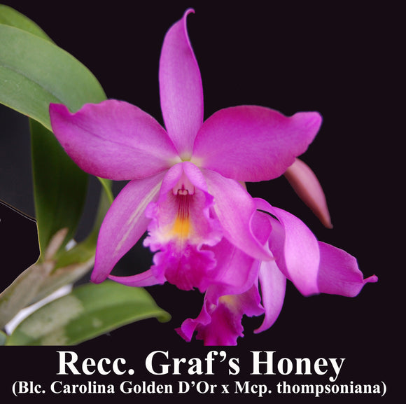 Stormara Graf's Honey <br>Blc. Carolina Golden 'D'or Naranja' x Mcp. thomsoniana (4