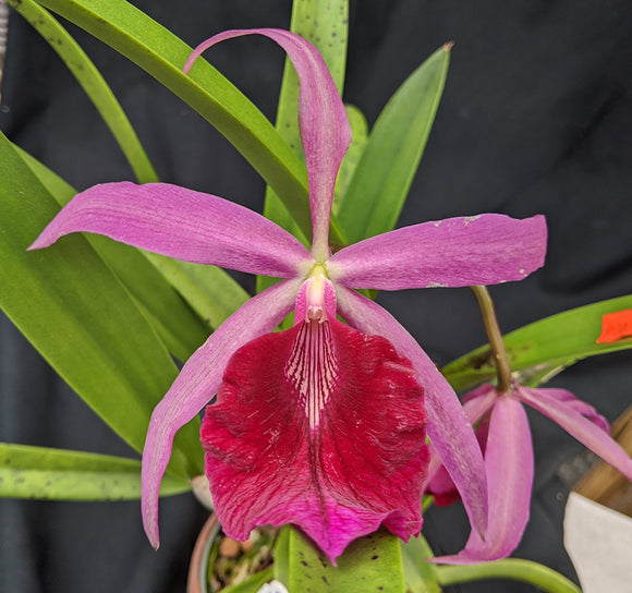 Bc. Playa Chuao <br> (Bl. Morning Glory 'Henrique' x  L. Pacavia 'Merion')   (4
