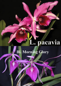 "Bc. Playa Chuao <br> (Bl. Morning Glory 'Henrique' x  L. Pacavia 'Merion')   (4"")"
