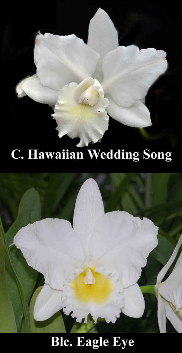 C. Hawaiian Wedding Song x <br> Blc. Eagle Eye 'All Victory' (4