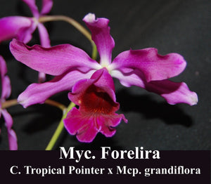 "Myc. Forelira <br> (C. Tropical Pointer x <br> Mcp. grandiflora) (4"")"