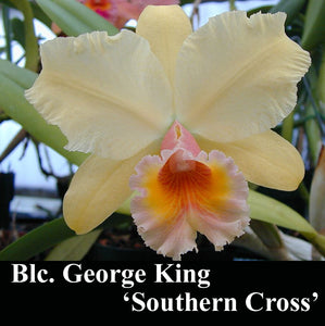 "Blc. George King Southern Cross x self (2.5"")"
