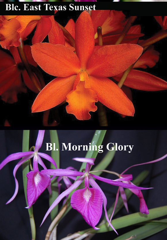 Blc. Playa Araya <br>(Blc. East Texas Sunset x <br> Bl. Morning Glory 'Henrique') (4