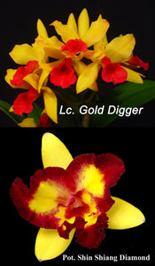 "Lc. Gold Digger 'Orchid Jungle' x Pot. Shin Shiang Diamond (4""p)"