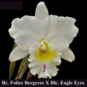 "Bc. Folies Bergeres x <br> Blc. Eagle Eye 'Old Victory'  (4"")"