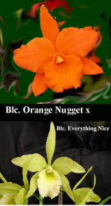 "Bc. Orange Nugget x <br> Blc. Everything Nice (4"")"