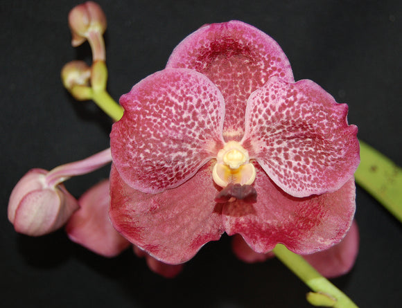 Vanda Kriengchai Brownie IN SPIKE (4