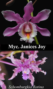 "Schom. Ratina x <br> Myc. Janices Joy (4""p)"