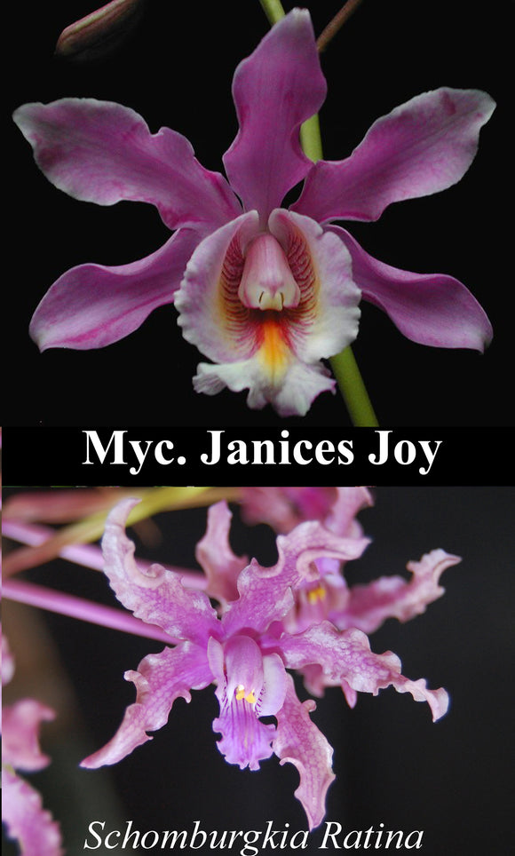 Schom. Ratina x <br> Myc. Janices Joy (4