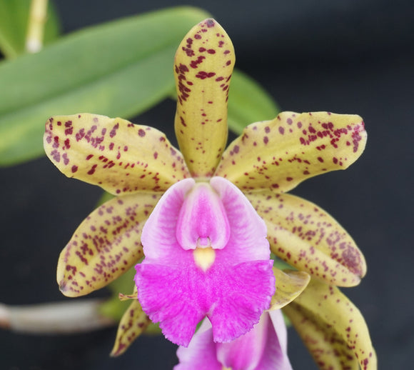 C. Small World x C. aclandiae (4