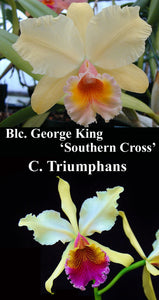 "Blc. George King 'Southern Cross' x C. triumphana (4""p)"