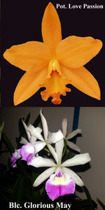 "Blc. Glorious May x Pot. Love Pasion (2"")"