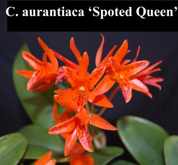 C. aurantiaca 'Spotted Queen' x self (2