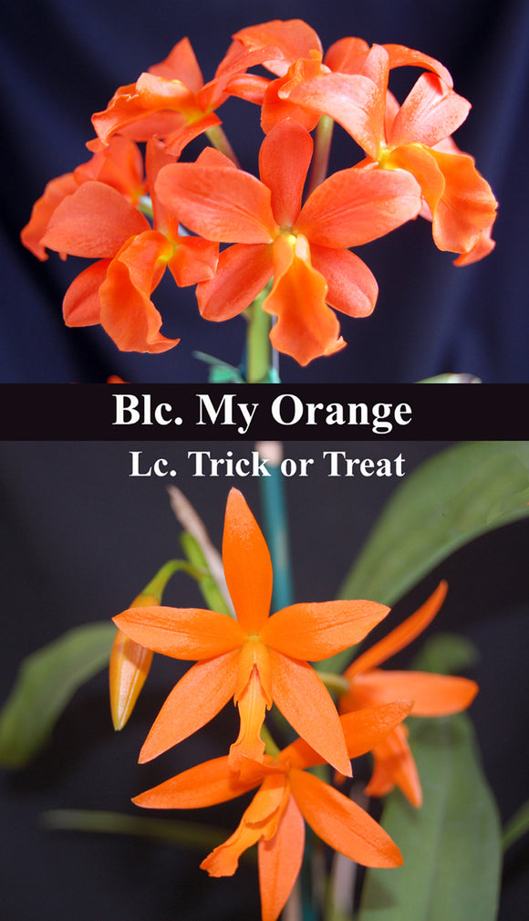 Lc. Trick or Treat 'Mas Naranja' x <br> Blc. My Orange 'NN' (2.5