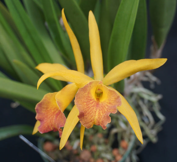 Blc. Sedona's Surprise (Pot Caesars Head x B nodosa) (BR)