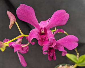 "Den. Hawaiian Magic x Den. eboli purple  (4"" p)"