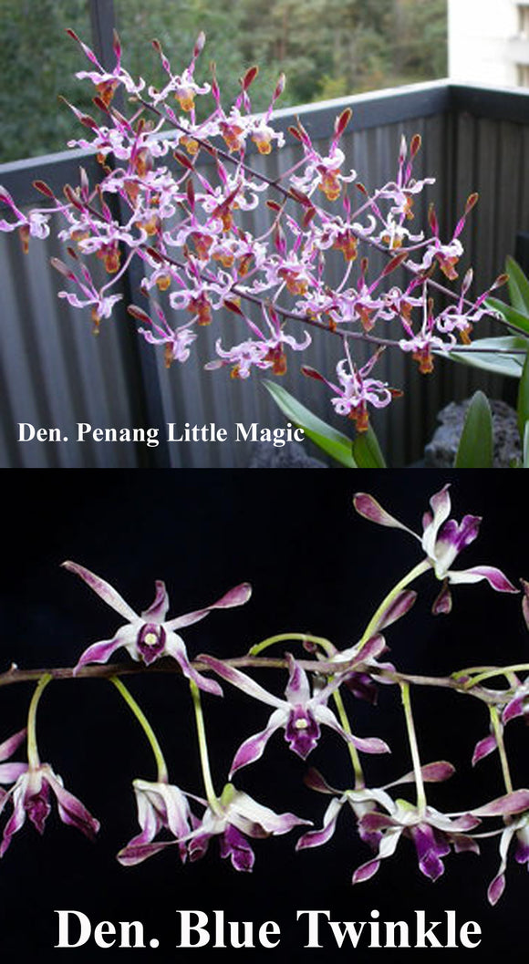 D. Penang 'Little Magic' x  D. Blue Twinkle  (2.5